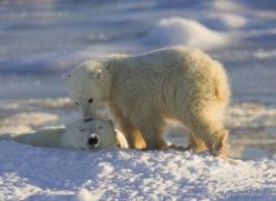 polar-bear-979-cape-churchill-copyright-photographers-on-safari-com