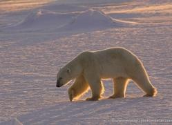 polar-bear-980-cape-churchill-copyright-photographers-on-safari-com