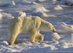 polar-bear-981-cape-churchill-copyright-photographers-on-safari-com