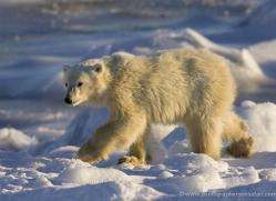 polar-bear-982-cape-churchill-copyright-photographers-on-safari-com