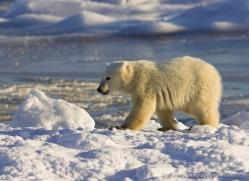 polar-bear-984-cape-churchill-copyright-photographers-on-safari-com