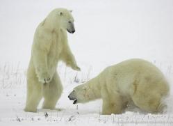 polar-bear-985-cape-churchill-copyright-photographers-on-safari-com