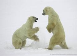 polar-bear-986-cape-churchill-copyright-photographers-on-safari-com