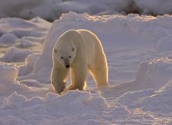 polar-bear-987-cape-churchill-copyright-photographers-on-safari-com