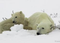 polar-bear-988-cape-churchill-copyright-photographers-on-safari-com