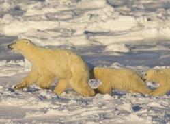 polar-bear-990-cape-churchill-copyright-photographers-on-safari-com