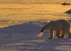 polar-bear-994-cape-churchill-copyright-photographers-on-safari-com