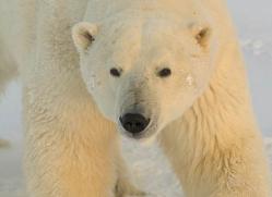 polar-bear-995-cape-churchill-copyright-photographers-on-safari-com