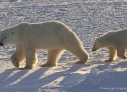 polar-bear-996-cape-churchill-copyright-photographers-on-safari-com