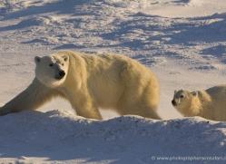 polar-bear-997-cape-churchill-copyright-photographers-on-safari-com