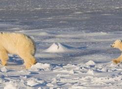 polar-bear-1001-cape-churchill-copyright-photographers-on-safari-com