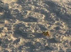 polar-bear-1005-cape-churchill-copyright-photographers-on-safari-com
