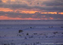 polar-bear-1013-cape-churchill-copyright-photographers-on-safari-com