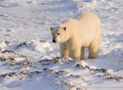 polar-bear-1018-cape-churchill-copyright-photographers-on-safari-com