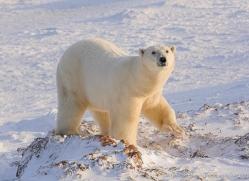 polar-bear-1019-cape-churchill-copyright-photographers-on-safari-com