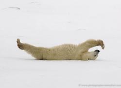polar-bear-1026-cape-churchill-copyright-photographers-on-safari-com