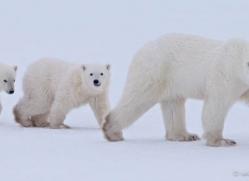 polar-bear-882-cape-churchill-copyright-photographers-on-safari-com