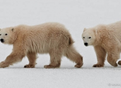 polar-bear-884-cape-churchill-copyright-photographers-on-safari-com