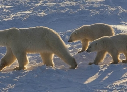 polar-bear-999-cape-churchill-copyright-photographers-on-safari-com