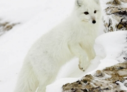 arctic-fox-881-cape-churchill-copyright-photographers-on-safari-com