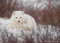 arctic-fox-883-cape-churchill-copyright-photographers-on-safari-com