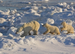 polar-bear-1000-cape-churchill-copyright-photographers-on-safari-com