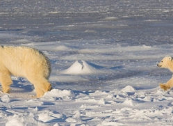 polar-bear-1001-cape-churchill-copyright-photographers-on-safari-com