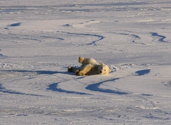 polar-bear-1002-cape-churchill-copyright-photographers-on-safari-com