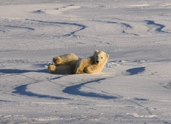 polar-bear-1003-cape-churchill-copyright-photographers-on-safari-com