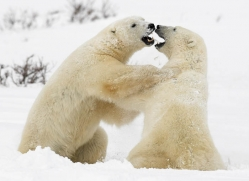 polar-bear-1009-cape-churchill-copyright-photographers-on-safari-com
