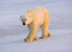 polar-bear-1012-cape-churchill-copyright-photographers-on-safari-com