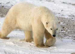 polar-bear-1014-cape-churchill-copyright-photographers-on-safari-com