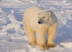 polar-bear-1016-cape-churchill-copyright-photographers-on-safari-com
