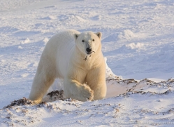 polar-bear-1017-cape-churchill-copyright-photographers-on-safari-com