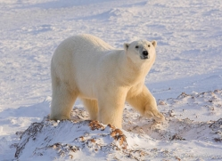 polar-bear-1019-cape-churchill-copyright-photographers-on-safari-com