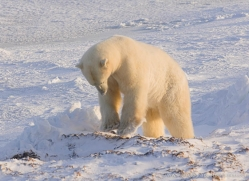 polar-bear-1020-cape-churchill-copyright-photographers-on-safari-com