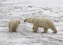 polar-bear-1021-cape-churchill-copyright-photographers-on-safari-com