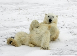 polar-bear-1024-cape-churchill-copyright-photographers-on-safari-com