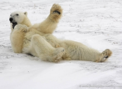 polar-bear-1025-cape-churchill-copyright-photographers-on-safari-com