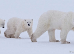 polar-bear-882-cape-churchill-copyright-photographers-on-safari-com