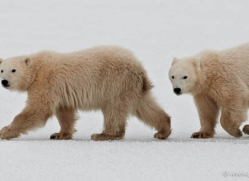 polar-bear-884-cape-churchill-copyright-photographers-on-safari-com