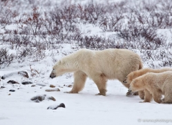 polar-bear-886-cape-churchill-copyright-photographers-on-safari-com