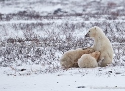polar-bear-888-cape-churchill-copyright-photographers-on-safari-com