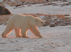 polar-bear-889-cape-churchill-copyright-photographers-on-safari-com