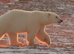 polar-bear-894-cape-churchill-copyright-photographers-on-safari-com