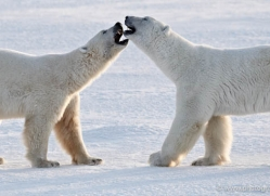 polar-bear-895-cape-churchill-copyright-photographers-on-safari-com