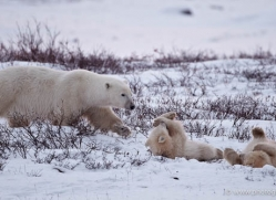polar-bear-896-cape-churchill-copyright-photographers-on-safari-com