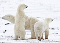 polar-bear-898-cape-churchill-copyright-photographers-on-safari-com