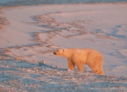 polar-bear-900-cape-churchill-copyright-photographers-on-safari-com