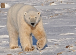 polar-bear-901-cape-churchill-copyright-photographers-on-safari-com